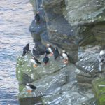 Orkney puffins gathered on the cliffs at Birsay.